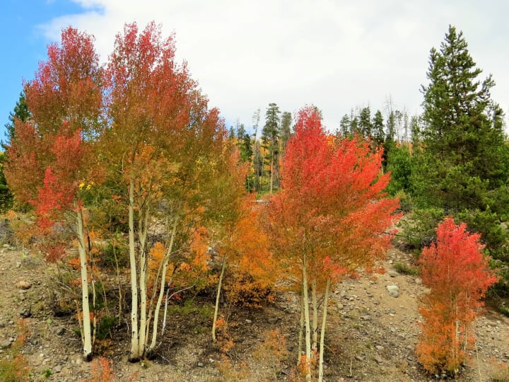 colorful aspen stand